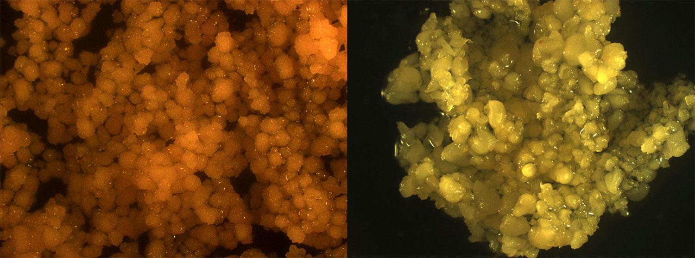Corn stem cells