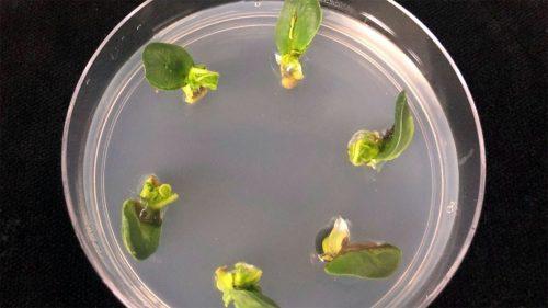soybean transformation