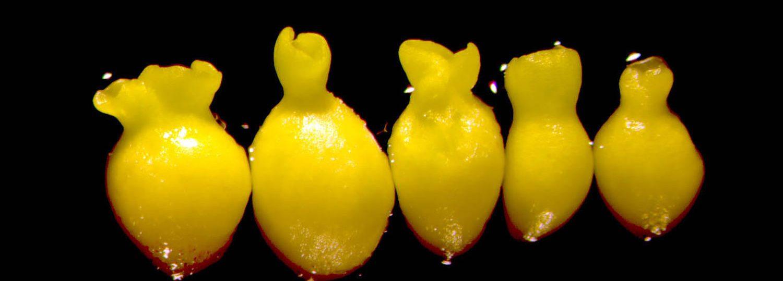 Cotton somatic embryos